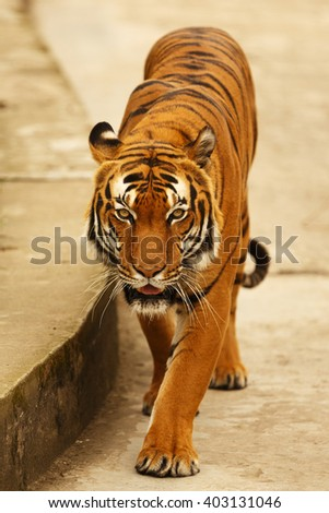 tiger is walking - stock photo