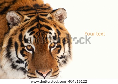 tiger isolated on the white background - stock photo