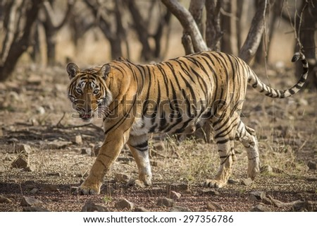Tiger Krishna  - stock photo