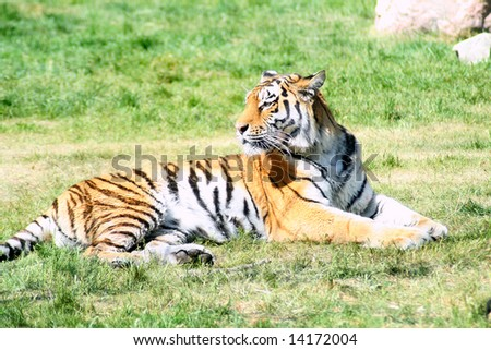 Tiger laying in the grass. - stock photo