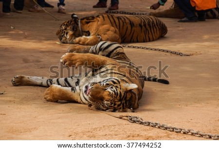 Tiger laying on the ground tired lazy wildcat rest funny cute - stock photo