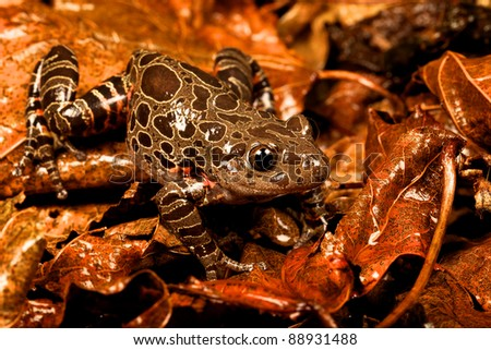 Tiger leg frog amongst the leaves