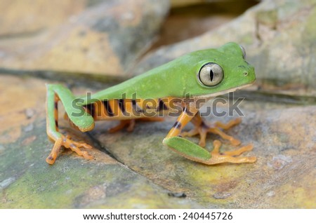 Tiger leg monkey tree frog (Phyllomedusa tomopterna)