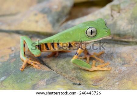 Tiger leg monkey tree frog (Phyllomedusa tomopterna) - stock photo