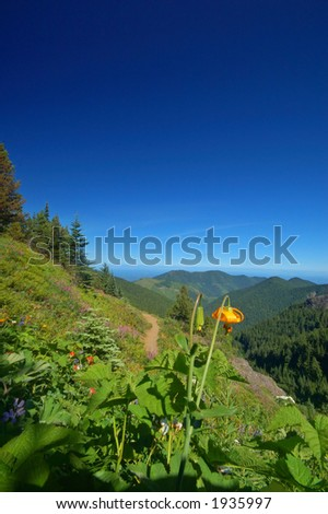 Tiger Lilies, Lilium columbianum, and lupine, in an alpine meadow in Washington State - stock photo