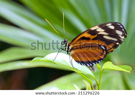 Tiger longwing butterfly close up - stock photo