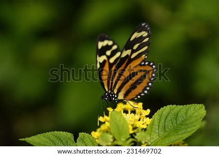 Tiger Longwing Butterfly (Heliconius Hecale Felix) feeding on a yellow flower  with enough copy space for your text on the green blur background - stock photo