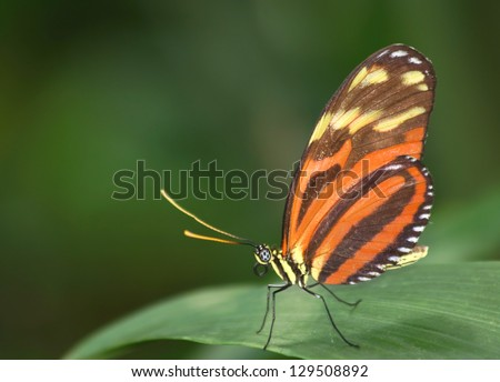 Tiger Longwing butterfly (Heliconius ismenius) - stock photo