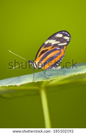 Tiger Longwing butterfly resting on a large-leafed green plant - stock photo