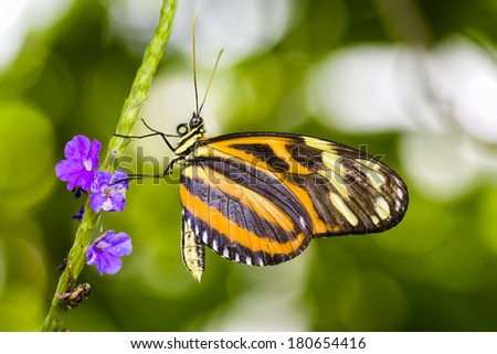 Tiger Longwing butterfly resting on a purple flowering plant - stock photo