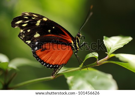 Tiger longwing Butterfly resting on green leaf - stock photo