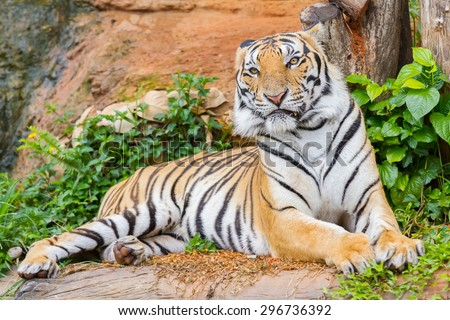 Tiger lying down and staring with ferocious.