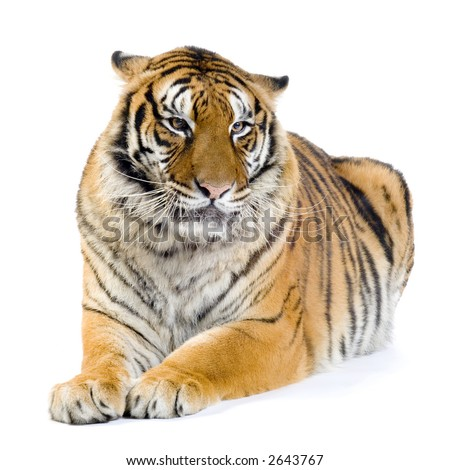 Tiger lying down in front of a white background. All my pictures are taken in a photo studio - stock photo