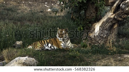 Tiger lying down in grass near the tree