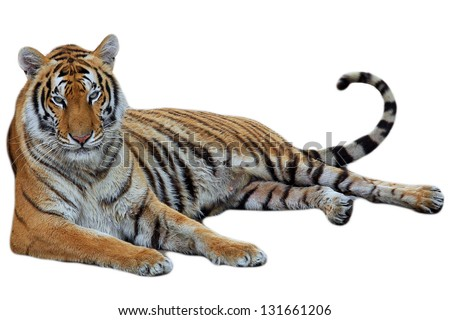 tiger lying isolated on white background - stock photo