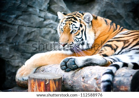 tiger lying on a log - stock photo