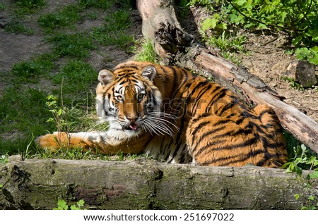 Tiger lying on meadow  - stock photo