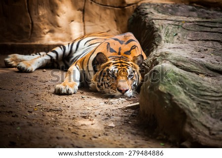 tiger lying on the ground in the daytime. - stock photo