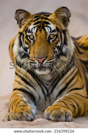Tiger lying on the road in the national park of India. Portrait of a tiger. - stock photo