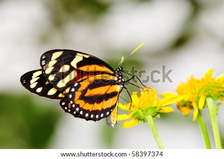 Tiger-Mimic Queen (Lycorea cleobaea) butterfly posed on a flower feeding