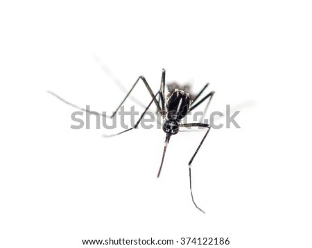 Tiger mosquito advancing, Aedes albopictus. Can be vector for Zika virus, malaria, Chukungunya fever etc. On white. - stock photo