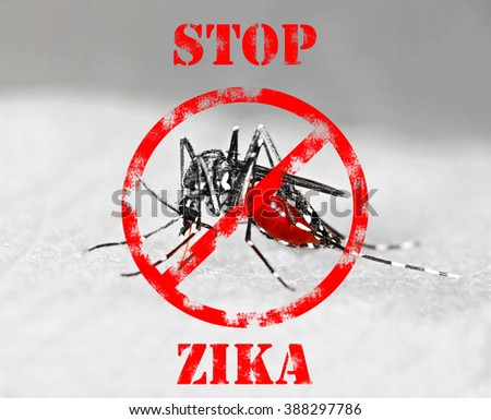Tiger mosquito (Aedes albopictus) full of blood, an species that can spreas zika virus - stock photo