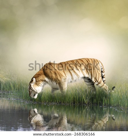 Tiger On Grassy Bank With Reflection - stock photo