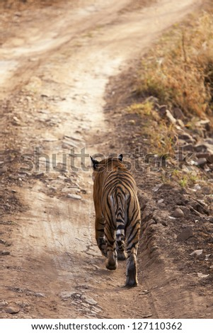 Tiger on the road, Ranthambore National Park - Rajasthan, India - stock photo