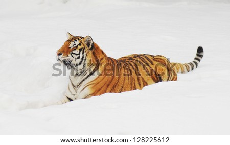 Tiger on white snow background