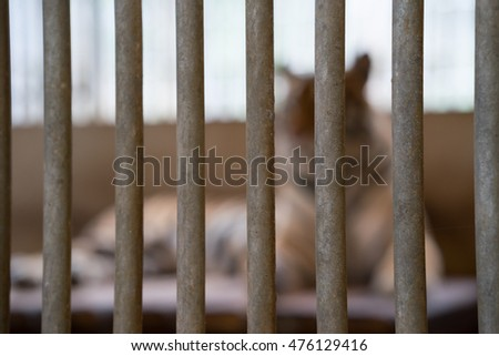 tiger out of focus behind bars in a zoo cage