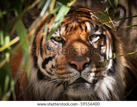 Tiger Portrait - stock photo