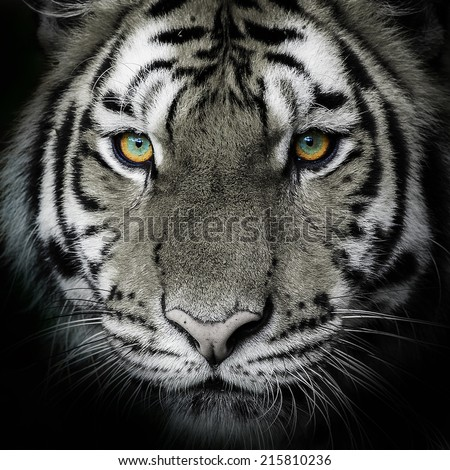Tiger, portrait of a bengal tiger. - stock photo