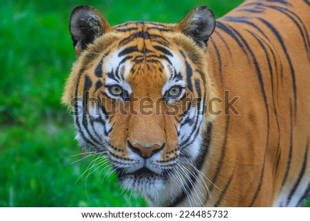 tiger portrait very close up - stock photo