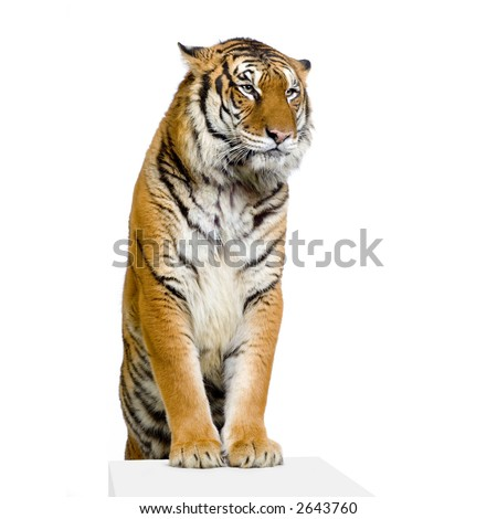 Tiger posing in front of a white background. All my pictures are taken in a photo studio - stock photo