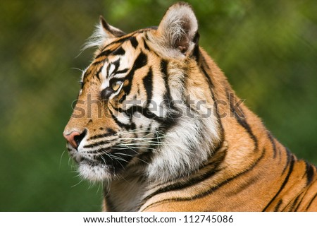 Tiger profile.  Side view portrait of a Bengal tiger. - stock photo