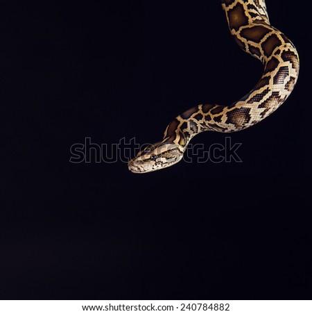 tiger python, black and yellow, against black  background. Female Pastel calico Python, Royal python or ball python,  - stock photo