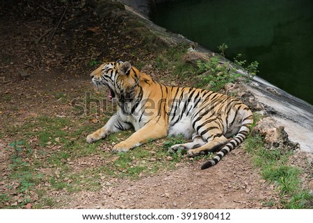 Tiger relax near the river.