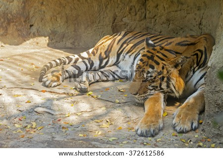 tiger relaxing and sleeping on the rock. - stock photo
