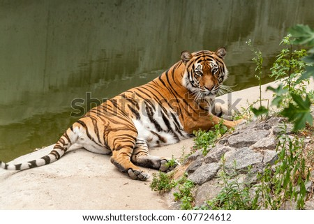 Tiger resting in the nature near the water
