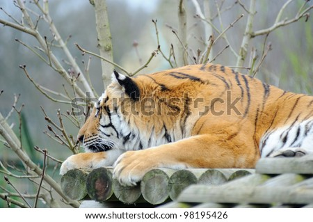 Tiger resting with head on paw - stock photo