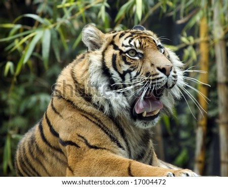 Tiger rests in the wild. Eye contact with camera.