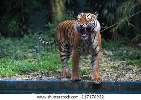 Tiger Roar - stock photo