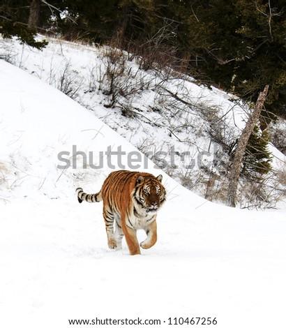 Tiger running in fresh snow - stock photo