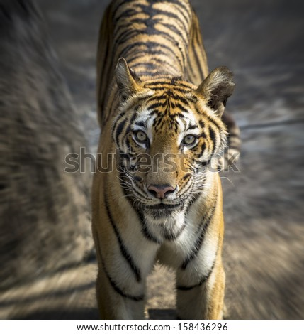 Tiger's gaze. - stock photo