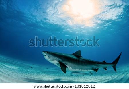 Tiger Shark - stock photo