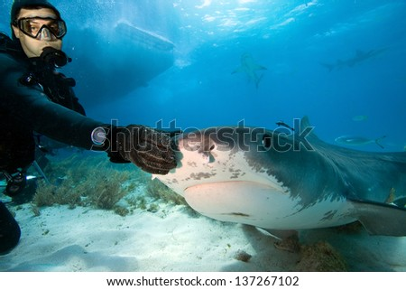 Tiger shark and diver - stock photo