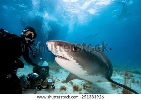 Tiger shark and underwater photographer - stock photo