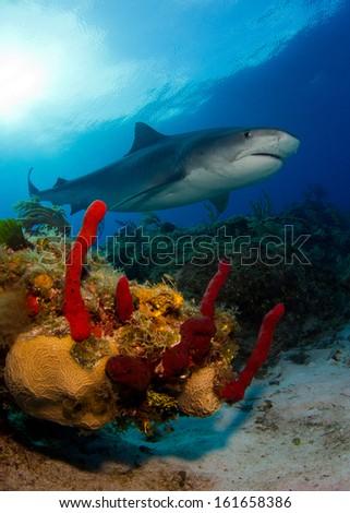 Tiger Shark at Tiger Beach in the Bahamas - stock photo