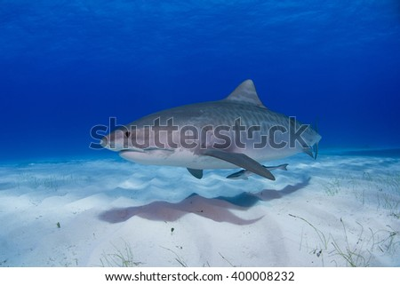 Tiger shark close to the ground in clear blue water and shadow in the sand. - stock photo