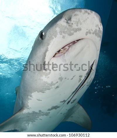 Tiger Shark Close Up - stock photo